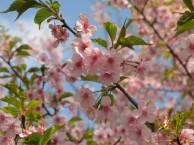 カワヅザクラ 花