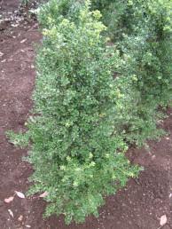 キンメツゲ苗木