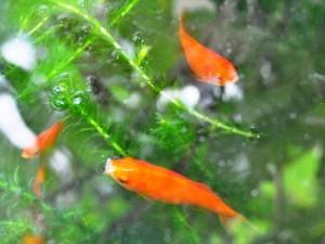 水瓶の金魚