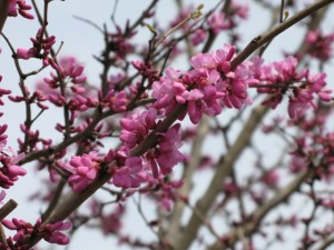 ハナズオウ 花