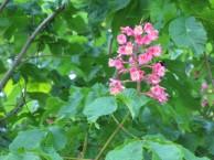 ベニバナトチノキ 花