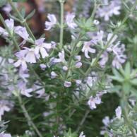 ウエストリンギア 花