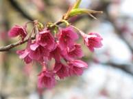 カンヒザクラ 花