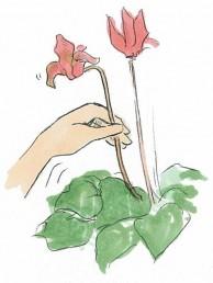 シクラメンの花がらつみ