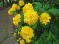 ヤエヤマブキの花