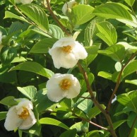 シャラ 花