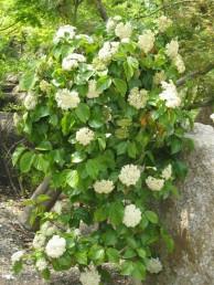ガマズミ花