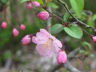 ハナカイドウ 花