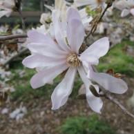 シデコブシ 花2