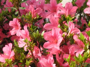 サツキ 花