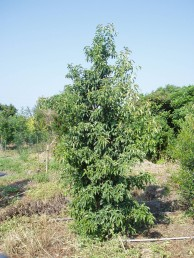 常緑ヤマボウシ1