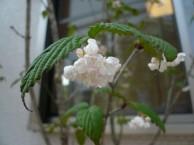 オトコヨウゾメ 花