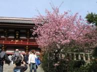 鶴岡八幡宮河津桜