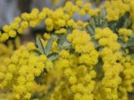 ミモザ 花