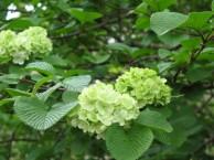 オオデマリ 花