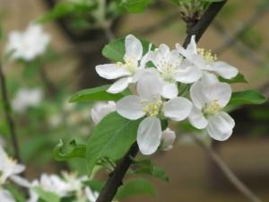 ヒメリンゴ 2