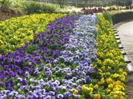 パンジー・ビオラの花壇