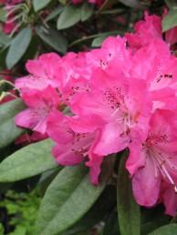シャクナゲ 花