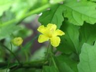 ゴーヤー花