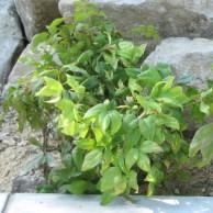 オタフクナンテン 緑