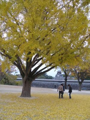 熊本城のイチョウ