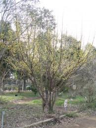 サンシュユ 樹姿