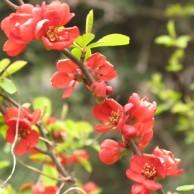 ボケ 赤花