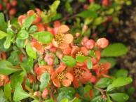 クサボケの花