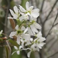 ジューンベリー 花