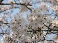 ソメイヨシノ 花