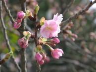 河津桜 つぼみ