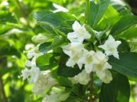 ウツギ 白花
