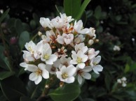 シャリンバイ 花2