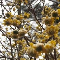 ミツマタ 黄花つぼみ