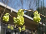 トサミズキ 花