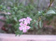 ハクチョウゲ(ピンク花)
