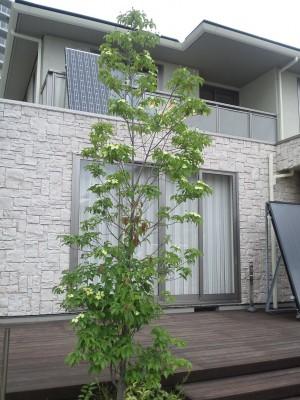 ヤマボウシの画像 p1_13